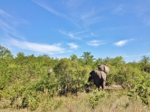 Elephants blending quickly into the mopane woodland