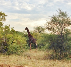 A giraffe strolling through the savanna, well adapted to get the tasty leaves at the top of the trees