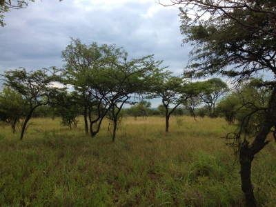 A typical flat topped acacia savanna scene, except featuring Albizia harveyi and Dichrostachys cinerea